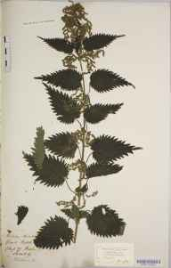 Urtica dioica herbarium specimen from Flitwick, VC30 Bedfordshire by Mary Ann Brooks.