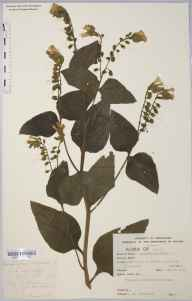 Symphytum orientale herbarium specimen from Clifton, VC6 North Somerset in 1915 by Mr Cedric Bucknall.
