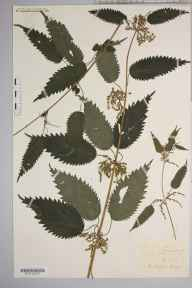 Urtica dioica herbarium specimen from Mouse Castle, VC36 Herefordshire in 1889 by Rev. Augustin Ley.