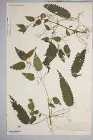 Urtica dioica herbarium specimen from Athelstans Wood, VC36 Herefordshire in 0 by Rev. Augustin Ley.
