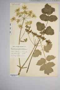 Heracleum sphondylium herbarium specimen from Taunton, VC5 South Somerset in 1915 by Mr Harold Stuart Thompson.