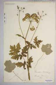 Heracleum sphondylium herbarium specimen from Ashbourne, VC57 Derbyshire in 1886 by Rev. Augustin Ley.