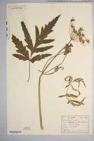 Heracleum sphondylium herbarium specimen from Saltaire, VC63,VC64 in 1876 by William West (Bradford).