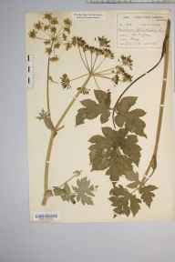 Heracleum sphondylium herbarium specimen from Warlingham, VC17 Surrey in 1906 by Mr Harold Stuart Thompson.