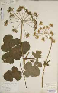 Heracleum sphondylium herbarium specimen from Flitwick, VC30 Bedfordshire by Mary Ann Brooks.