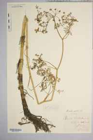 Oenanthe aquatica herbarium specimen from Selby, VC61,VC64 in 1879 by William West (Bradford).