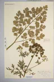 Oenanthe aquatica herbarium specimen from King's Caple, VC36 Herefordshire in 1898 by Rev. Augustin Ley.