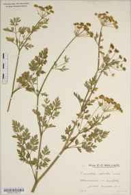 Oenanthe aquatica herbarium specimen from Cowfold, VC13 West Sussex in 1935 by Mr Edward Charles Wallace.