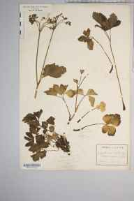 Ligusticum scoticum herbarium specimen from Staffa, VC103 Mid Ebudes in 1904 by Rev Douglas Montague Heath.