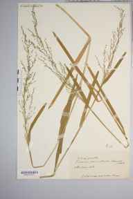 Catabrosa aquatica herbarium specimen from Brampton Abbotts, VC36 Herefordshire in 1908 by Rev. Augustin Ley.