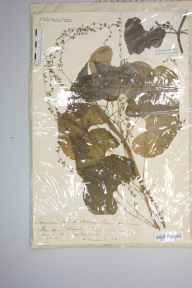 Tamus communis herbarium specimen from Bridgwater, Somerset in 1879 by Mr Harold Stuart Thompson.