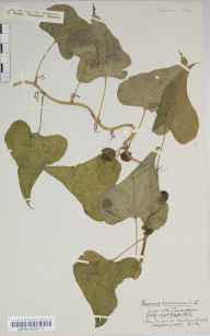 Tamus communis herbarium specimen from York, VC62 North-east Yorkshire in 1852 by William Thompson (father of HST).