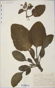 Borago officinalis herbarium specimen from Llandudno, VC49 Caernarvonshire in 1895 by Mr Charles Bailey.
