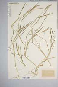 Alopecurus geniculatus herbarium specimen from Canon Bridge, VC36 Herefordshire in 1887 by Rev. Augustin Ley.