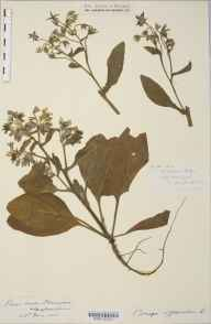 Borago officinalis herbarium specimen from Strangford, VC36 Herefordshire in 1881 by Rev. Augustin Ley.