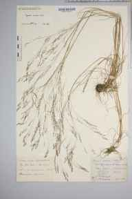 Agrostis scabra herbarium specimen from Fersit, VC97 West Inverness-shire in 1896 by Rev. Edward Shearburn Marshall.