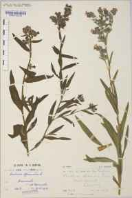 Anchusa officinalis herbarium specimen from Barmouth, VC48 Merionethshire in 1915 by Mr William Charles Barton.