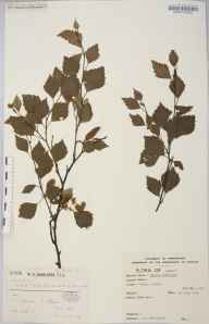 Betula alba herbarium specimen from Garve, VC106 East Ross & Cromarty in 1909 by Dr William Andrew Shoolbred.