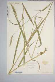 Hordelymus europaeus herbarium specimen from Haugh Wood, VC36 Herefordshire in 1888 by Rev. Augustin Ley.