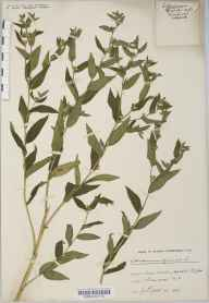 Lithospermum officinale herbarium specimen from Leigh Woods, VC6 North Somerset in 1918 by Mr Harold Stuart Thompson.