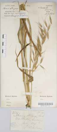 Avena strigosa herbarium specimen from Mortlake, VC17 Surrey in 1878 by Mr George Nicholson.