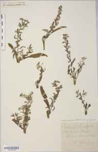 Lappula squarrosa herbarium specimen from Ross, VC36 Herefordshire in 1882 by Rev. Augustin Ley.