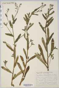 Myosotis arvensis herbarium specimen from Bath, VC6 North Somerset in 1936 by Mr Harold Stuart Thompson.
