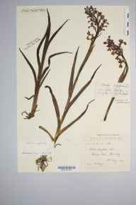 Orchis laxiflora herbarium specimen from Guernsey,Grande Mare, VC113 Channel Islands in 1901 by Rev. Patrick M Playfair.