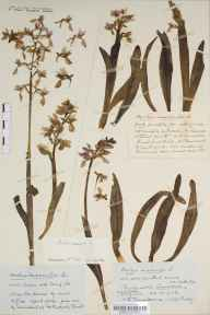 Orchis mascula herbarium specimen from Sandford, VC6 North Somerset in 1923 by Mr Harold Stuart Thompson.