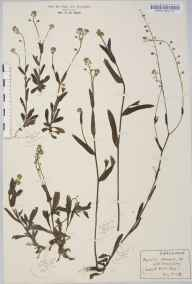 Myosotis arvensis herbarium specimen from Sporle, VC28 West Norfolk in 1916 by Rev Douglas Montague Heath.