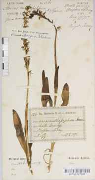 Aceras anthropophorum herbarium specimen from Compton, VC17 Surrey in 1875 by Mr Henry Groves.
