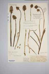 Anacamptis pyramidalis herbarium specimen from Polden Hills, VC6 North Somerset in 1915 by Mr Harold Stuart Thompson.