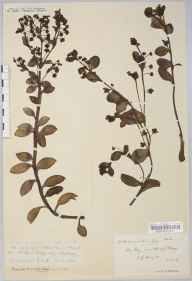 Mertensia maritima herbarium specimen from Reay, VC109 Caithness in 1915 by Rev. Edward Shearburn Marshall.