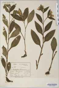Symphytum tuberosum herbarium specimen from Montpelier, VC34 West Gloucestershire in 1888 by Mr Harold Stuart Thompson.