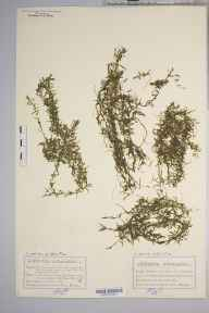 Callitriche autumnalis herbarium specimen from Stranraer, VC74 Wigtownshire in 1883 by Mr Charles Bailey.