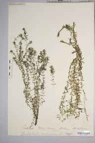 Callitriche autumnalis herbarium specimen from Islay House, VC102 South Ebudes in 1883 by Rev. Augustin Ley.