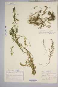 Callitriche autumnalis herbarium specimen from Loch Kinellan, VC106 East Ross & Cromarty in 1890 by Mr Charles Bailey.