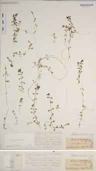 Callitriche platycarpa herbarium specimen from River Witham, VC54 North Lincolnshire in 1907 by Rev. Augustin Ley.