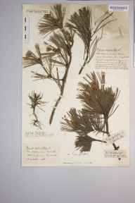 Pinus sylvestris herbarium specimen from Clevedon, VC6 North Somerset in 1916 by Mr Harold Stuart Thompson.