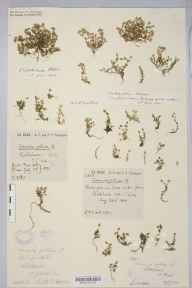 Arenaria norvegica herbarium specimen from Ribblehead, VC64 Mid-west Yorkshire in 1890 by Rachel Ford Thompson.