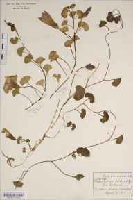 Calystegia soldanella herbarium specimen from Yarmouth, VC10 Isle of Wight in 1914 by Rev Douglas Montague Heath.