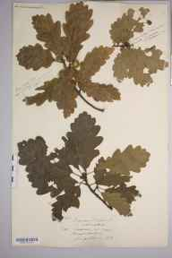 Quercus  herbarium specimen from Orcop, VC36 Herefordshire in 1874 by Rev. Augustin Ley.