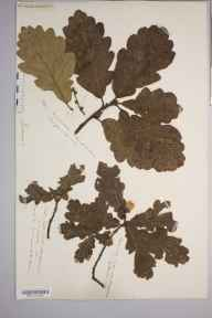 Quercus  herbarium specimen from Stoke Edith Park, VC36 Herefordshire in 1881 by Rev. Augustin Ley.