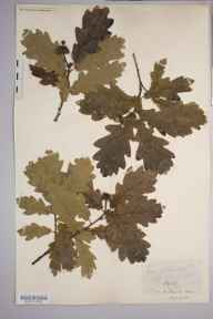 Quercus x intermedia herbarium specimen from Carey, VC36 Herefordshire in 1885 by Rev. Augustin Ley.
