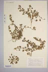 Erodium maritimum herbarium specimen from Little Ormes Head, VC49 Caernarvonshire in 1879 by Mr Charles Bailey.