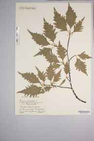 Fagus sylvatica 'Heterophylla' herbarium specimen from Clevedon Court Wood, VC6 North Somerset in 1918 by Mr Harold Stuart Thompson.