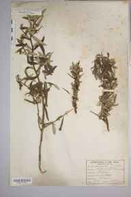 Hippophae rhamnoides herbarium specimen from Skegness, VC54 North Lincolnshire in 1884 by B Illingworth.