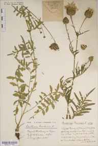 Centaurea scabiosa herbarium specimen from Clifton Down, VC34 West Gloucestershire in 1934 by Mrs  Bell.