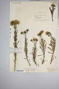 Inula crithmoides herbarium specimen from Kynance, VC1 West Cornwall in 1886 by Mr Harold Stuart Thompson.