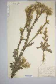 Carduus pycnocephalus herbarium specimen from Great Yarmouth,South Denes, VC27 East Norfolk in 1895 by William West.